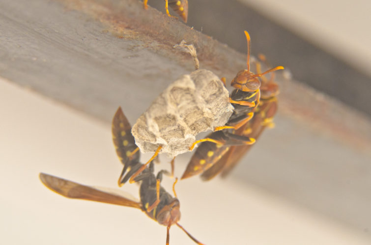Invasive Wasps in Galapagos