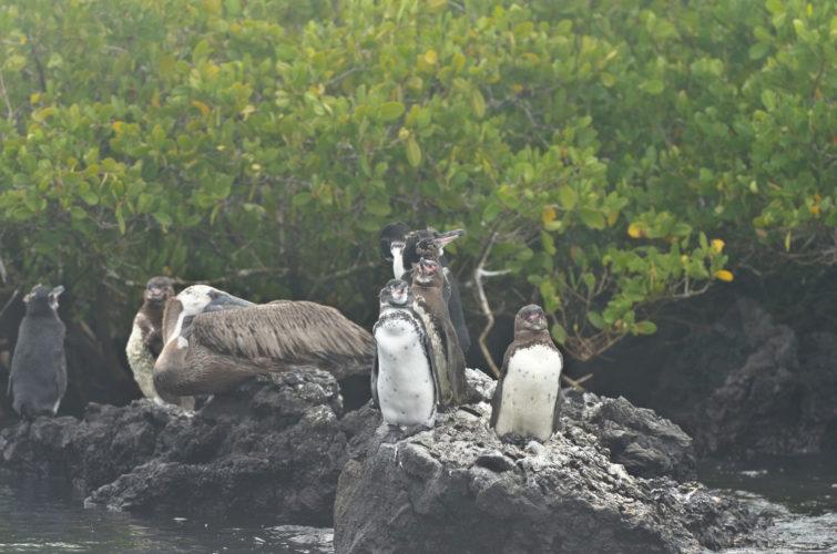 Galapagos Penguins near Las Tintoreras, Isabela Island