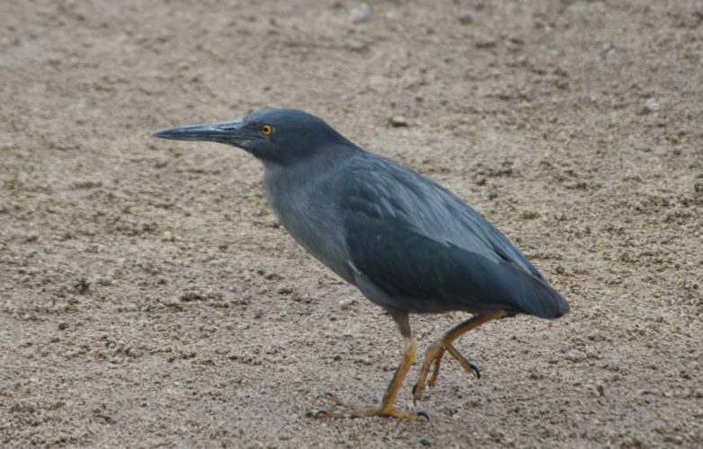 Lava Heron on the Beach