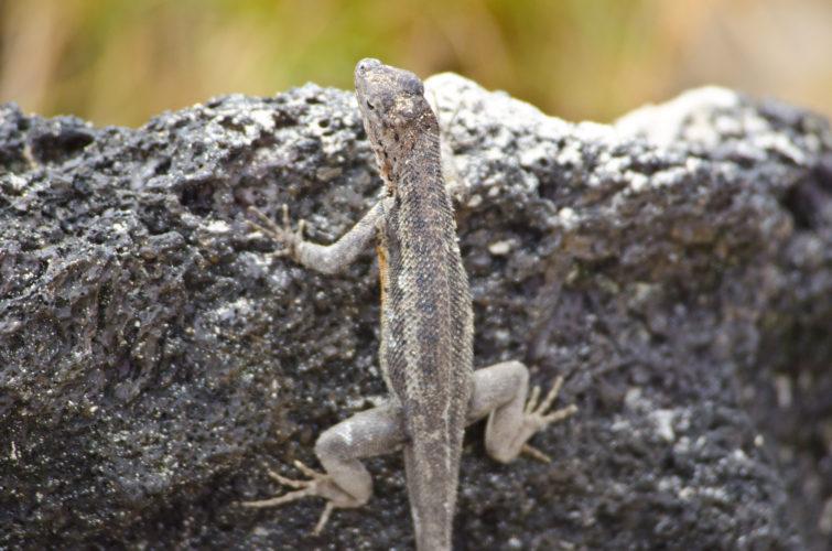 Lava Lizard, Isabela Island