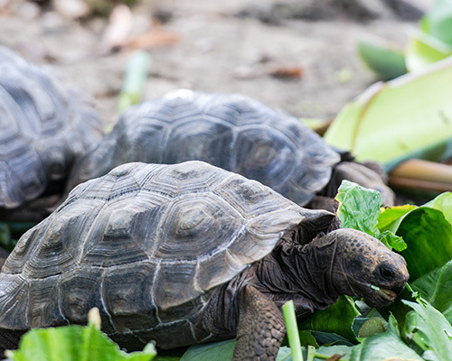 Galapagos land tortoise eating leaves