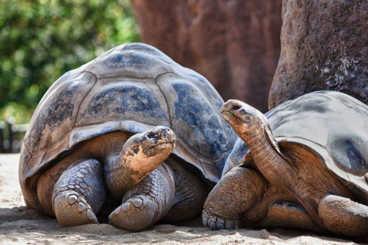 Galapagos land tortoise in love