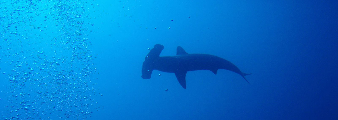 Scalloped Hammerhead in the Galapagos