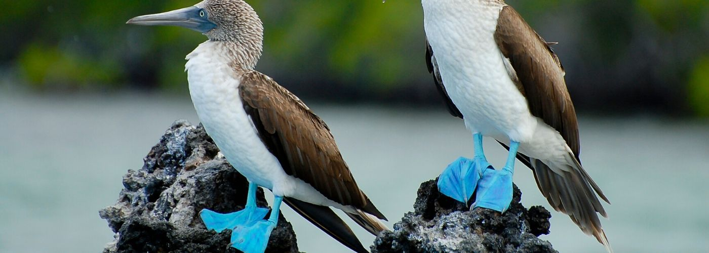 Blue-Footed Boobies on black Galapagos rock