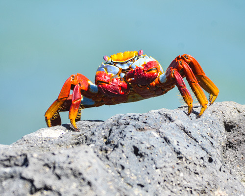 Lightfoot Crab Galapagos
